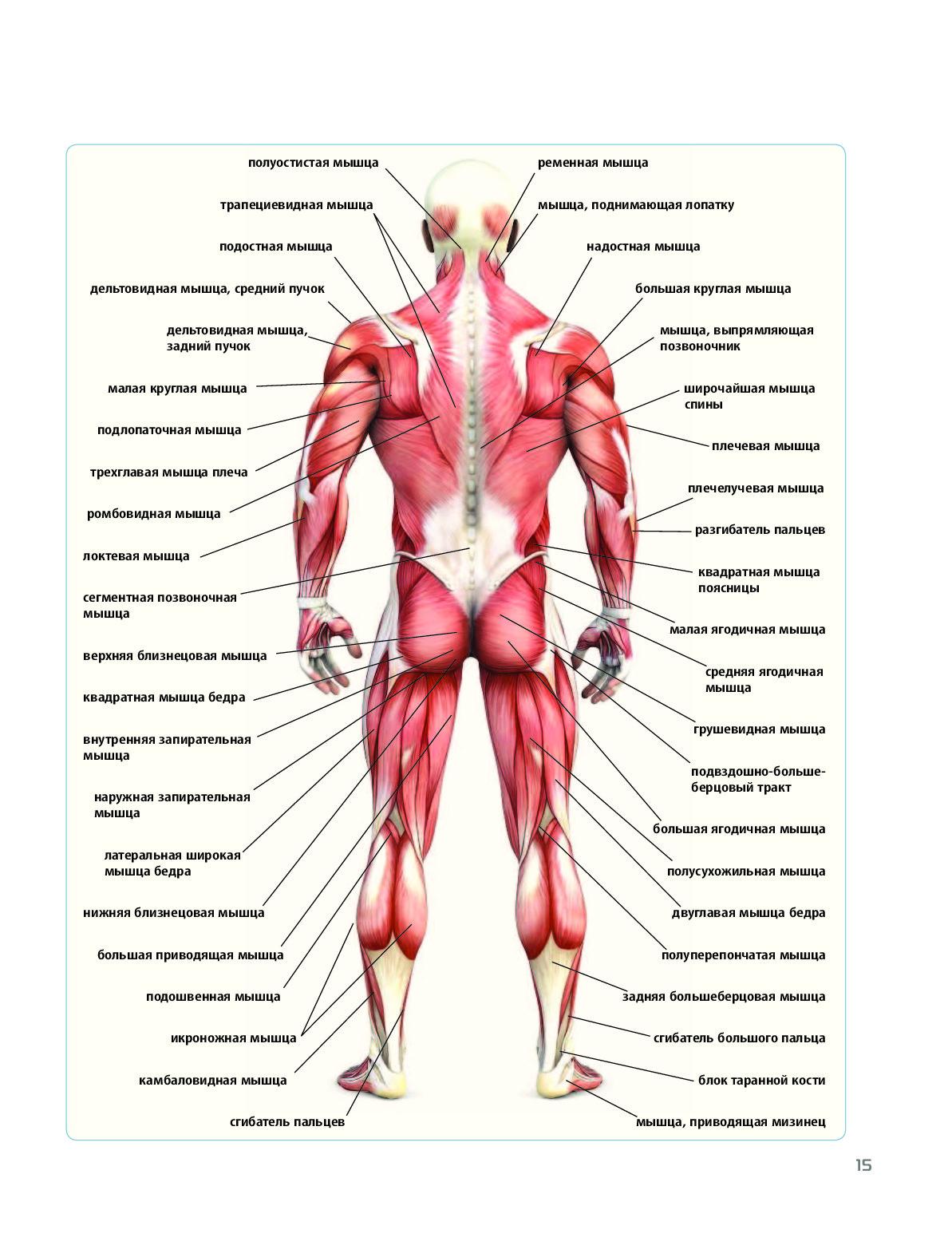 Анатомия человека строение мышц картинки